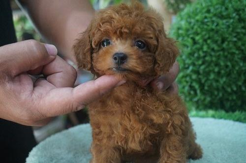 トイプードルの子犬(ID:1231011299)の1枚目の写真/更新日:2017-08-23