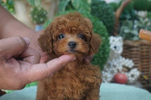 トイプードルの子犬(ID:1231011299)の2枚目の写真/更新日:2017-08-23