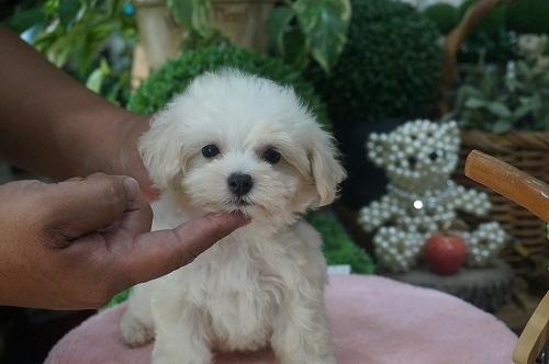 ミックスの子犬(ID:1231011301)の2枚目の写真/更新日:2017-08-24