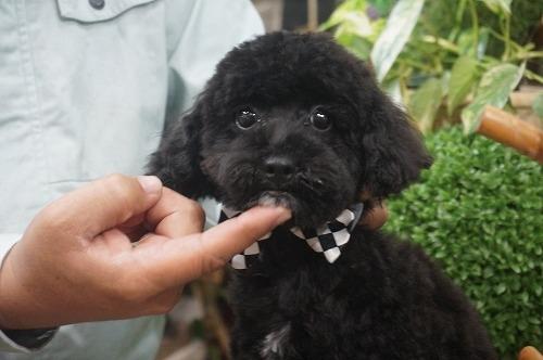 トイプードルの子犬(ID:1231011303)の1枚目の写真/更新日:2017-11-14
