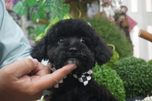トイプードルの子犬(ID:1231011303)の2枚目の写真/更新日:2017-11-14