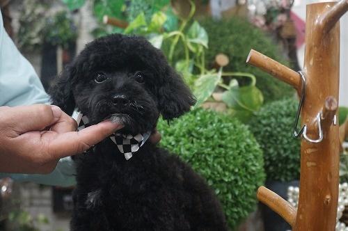 トイプードルの子犬(ID:1231011303)の3枚目の写真/更新日:2017-11-14
