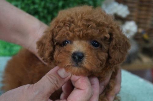 トイプードルの子犬(ID:1231011306)の1枚目の写真/更新日:2017-08-26