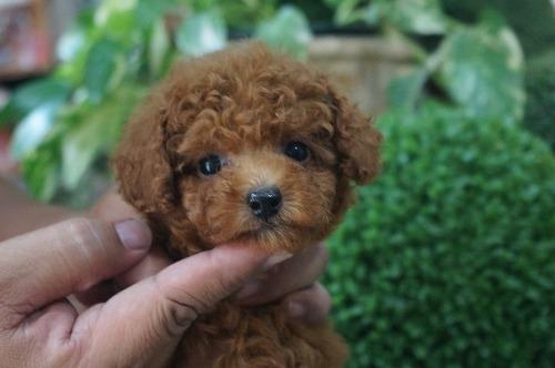 トイプードルの子犬(ID:1231011306)の2枚目の写真/更新日:2017-08-26