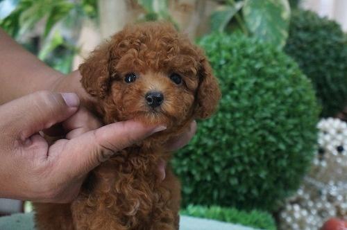 トイプードルの子犬(ID:1231011306)の3枚目の写真/更新日:2017-08-26
