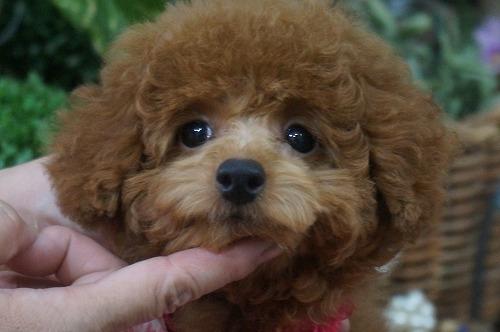 トイプードルの子犬(ID:1231011307)の1枚目の写真/更新日:2017-10-03