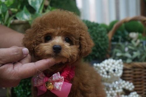 トイプードルの子犬(ID:1231011307)の3枚目の写真/更新日:2017-10-03