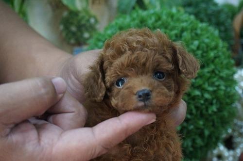 トイプードルの子犬(ID:1231011308)の1枚目の写真/更新日:2017-09-01