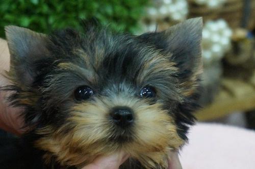 ヨークシャーテリアの子犬(ID:1231011309)の1枚目の写真/更新日:2017-09-07