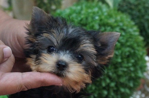 ヨークシャーテリアの子犬(ID:1231011309)の2枚目の写真/更新日:2017-09-07