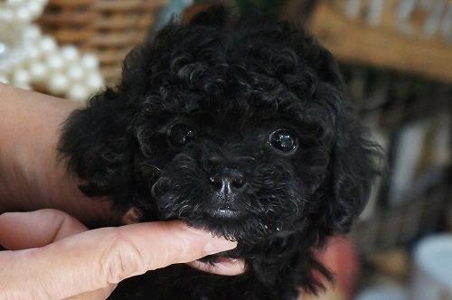 トイプードルの子犬(ID:1231011312)の2枚目の写真/更新日:2017-09-09