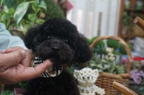 トイプードルの子犬(ID:1231011313)の2枚目の写真/更新日:2017-11-15