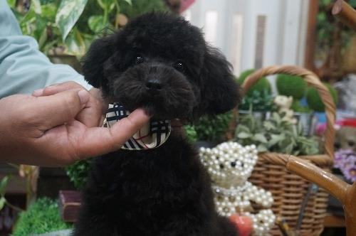 トイプードルの子犬(ID:1231011313)の3枚目の写真/更新日:2017-11-15