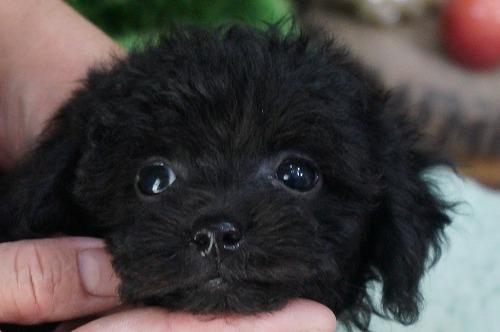 トイプードルの子犬(ID:1231011314)の1枚目の写真/更新日:2017-09-09