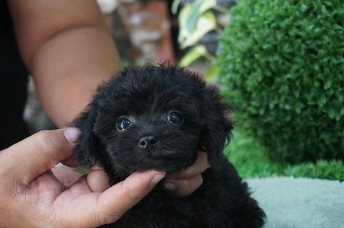 トイプードルの子犬(ID:1231011314)の3枚目の写真/更新日:2017-09-09