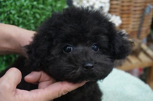 トイプードルの子犬(ID:1231011315)の1枚目の写真/更新日:2017-09-09