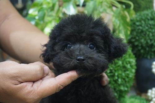 トイプードルの子犬(ID:1231011315)の2枚目の写真/更新日:2017-09-09
