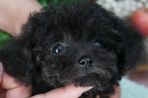 トイプードルの子犬(ID:1231011316)の1枚目の写真/更新日:2017-09-09