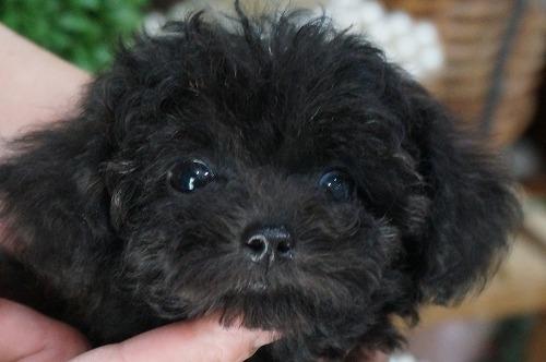 トイプードルの子犬(ID:1231011316)の2枚目の写真/更新日:2017-09-09
