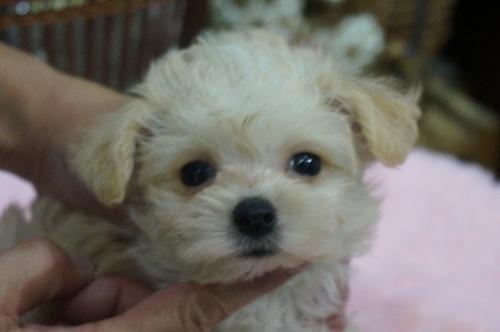 ミックスの子犬(ID:1231011317)の1枚目の写真/更新日:2017-10-12