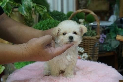ミックスの子犬(ID:1231011317)の3枚目の写真/更新日:2017-10-10