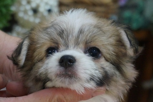 ミックスの子犬(ID:1231011318)の1枚目の写真/更新日:2017-10-11