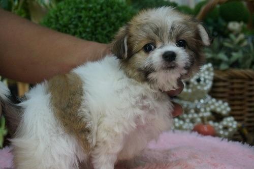 ミックスの子犬(ID:1231011318)の3枚目の写真/更新日:2017-10-11