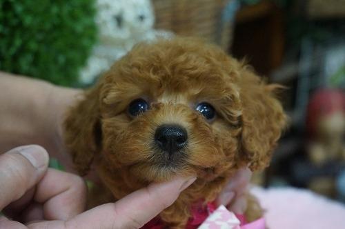 トイプードルの子犬(ID:1231011319)の1枚目の写真/更新日:2017-10-13