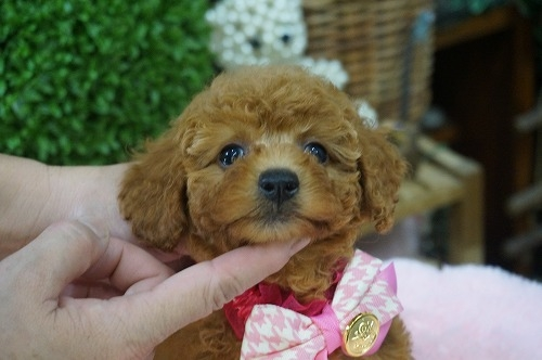トイプードルの子犬(ID:1231011319)の2枚目の写真/更新日:2017-10-13