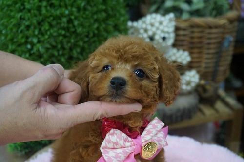 トイプードルの子犬(ID:1231011319)の3枚目の写真/更新日:2017-10-13