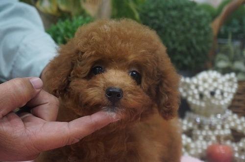 トイプードルの子犬(ID:1231011320)の1枚目の写真/更新日:2017-10-14