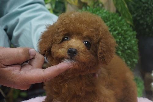 トイプードルの子犬(ID:1231011320)の2枚目の写真/更新日:2017-10-14