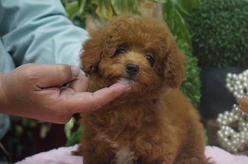 トイプードルの子犬(ID:1231011320)の3枚目の写真/更新日:2017-10-14