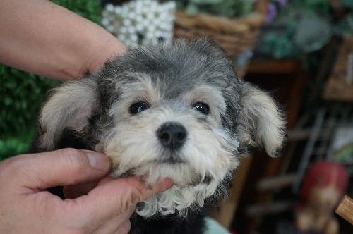 トイプードルの子犬(ID:1231011321)の2枚目の写真/更新日:2017-11-02
