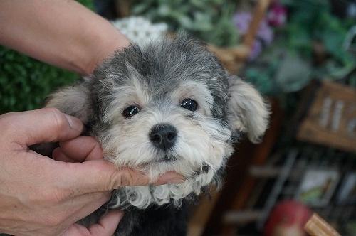 トイプードルの子犬(ID:1231011321)の3枚目の写真/更新日:2017-11-02