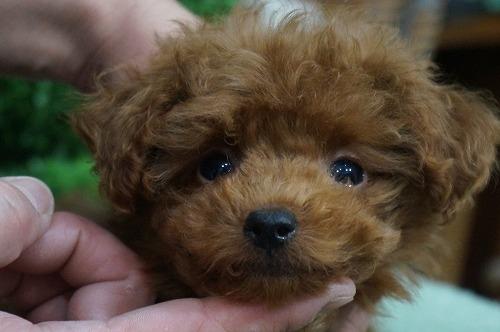 トイプードルの子犬(ID:1231011322)の1枚目の写真/更新日:2017-11-02