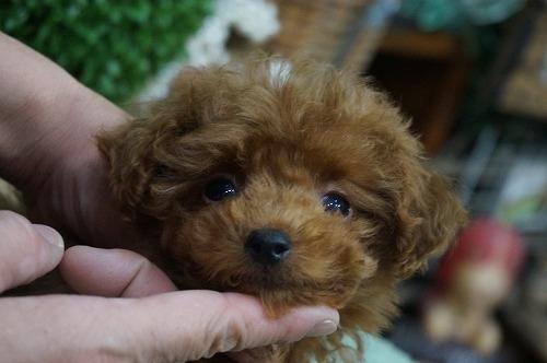 トイプードルの子犬(ID:1231011322)の2枚目の写真/更新日:2017-11-02