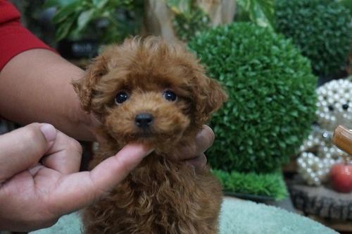 トイプードルの子犬(ID:1231011322)の3枚目の写真/更新日:2017-11-02
