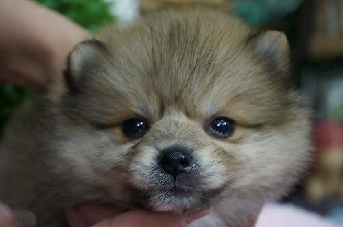 ポメラニアンの子犬(ID:1231011323)の1枚目の写真/更新日:2017-11-04