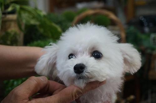トイプードルの子犬(ID:1231011324)の1枚目の写真/更新日:2017-11-15