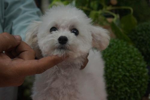 トイプードルの子犬(ID:1231011324)の2枚目の写真/更新日:2017-11-15