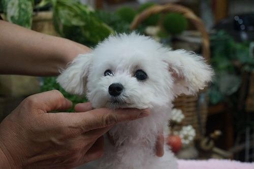 トイプードルの子犬(ID:1231011324)の3枚目の写真/更新日:2017-11-15