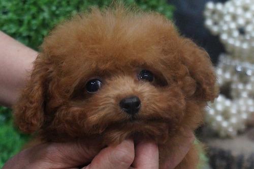 トイプードルの子犬(ID:1231011325)の1枚目の写真/更新日:2017-11-10