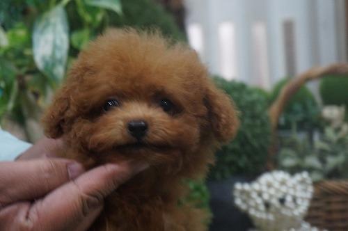 トイプードルの子犬(ID:1231011325)の2枚目の写真/更新日:2017-11-10