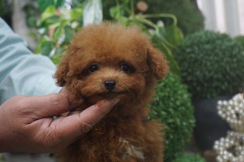 トイプードルの子犬(ID:1231011325)の3枚目の写真/更新日:2017-11-10