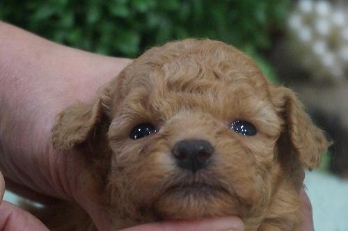 トイプードルの子犬(ID:1231011326)の1枚目の写真/更新日:2017-11-21