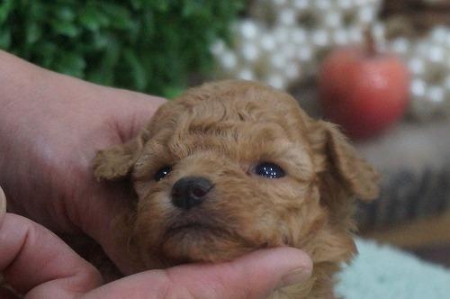トイプードルの子犬(ID:1231011326)の2枚目の写真/更新日:2017-11-21