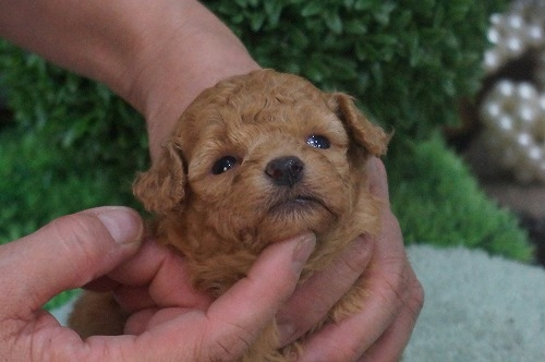 トイプードルの子犬(ID:1231011326)の3枚目の写真/更新日:2017-11-21