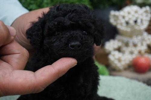 トイプードルの子犬(ID:1231011329)の1枚目の写真/更新日:2017-12-02