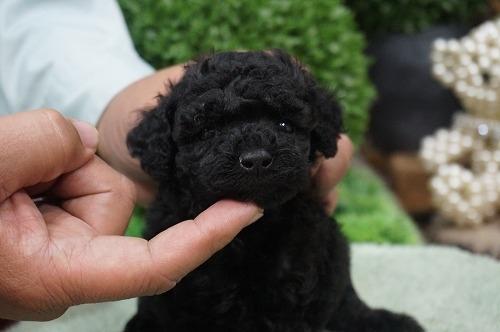 トイプードルの子犬(ID:1231011329)の2枚目の写真/更新日:2017-12-02